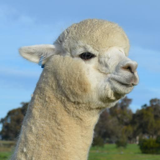 Rueben - our alpaca